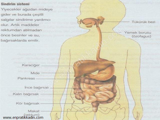Sindirim Sistemi, Bağırsaklar, Karaciğer ve Pankreas