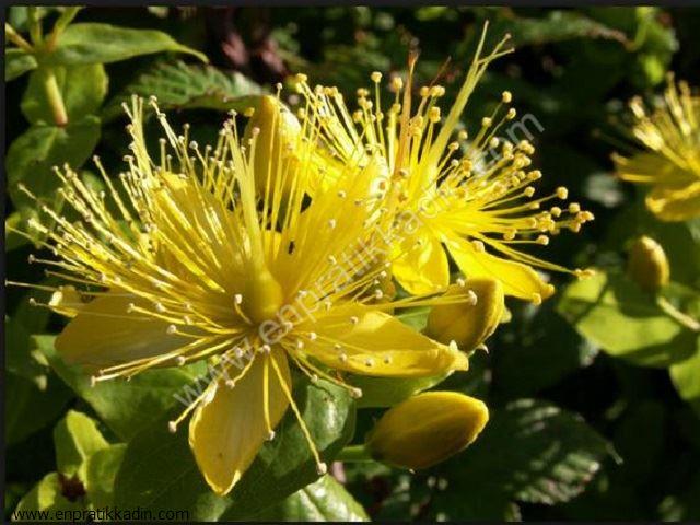 Sarı Kantaron (Guttiferae)