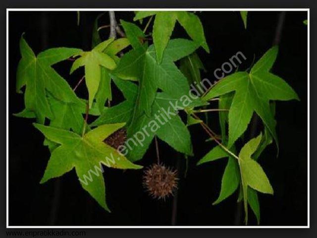 Sığla (Hamamelidaceae)