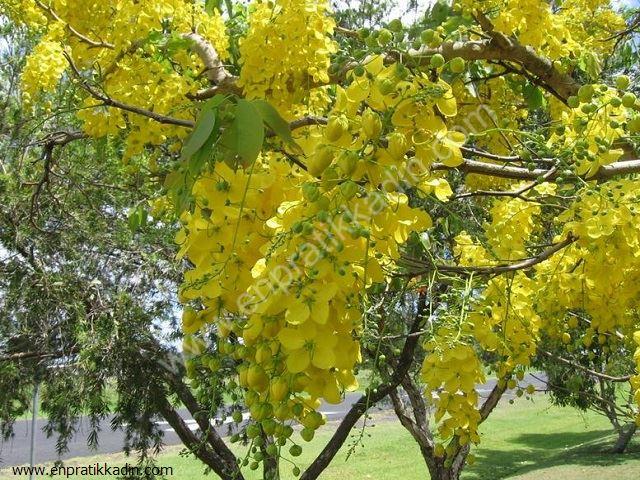 Sinameki (Leguminosae)