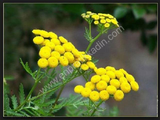 Solucan Otu (Asteraceae)